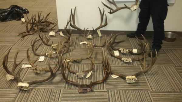 <p>Oregon Fish and Wildlife Police seized several antler sets in the course of investigating suspected poacher Gene Parsons and others.</p>
