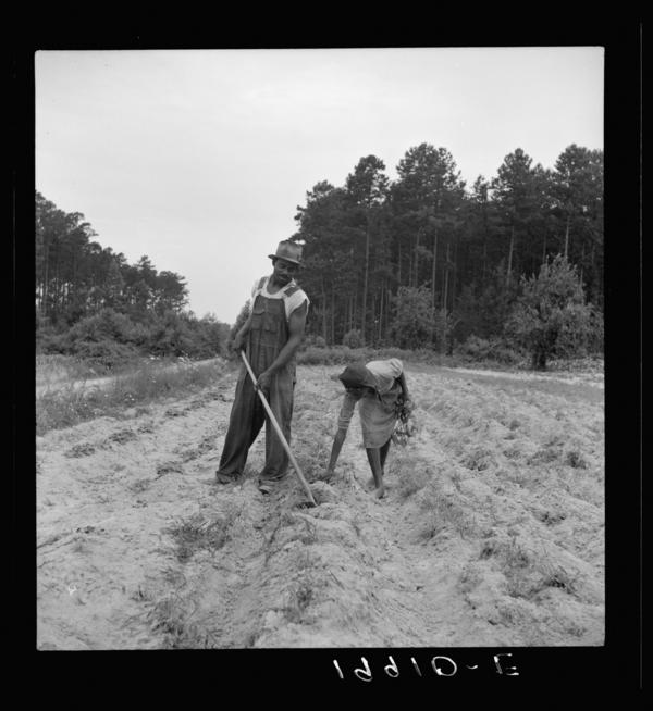 "A sharecropper plants sweet potatoes with his 13-year-old daughter near Olive Hill, N.C., July 1939. ""Her father hopes to send her to school,"" Lange noted."