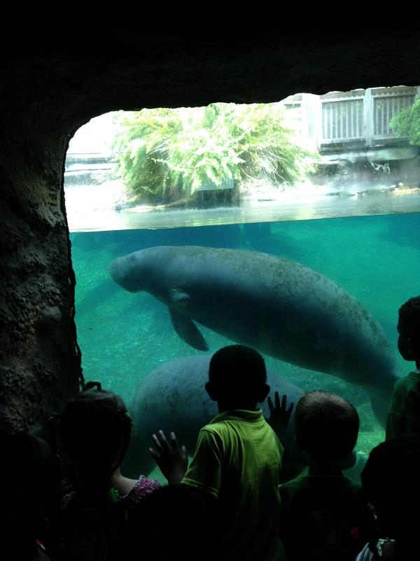 Manatees at the Lowry Park Zoo