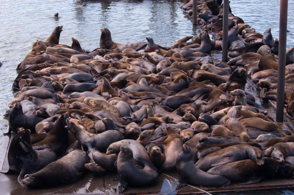 <p>The sea lion count in Astoria's East Mooring Basin this spring was a record 2,340, shattering last year's record 1,420.</p>