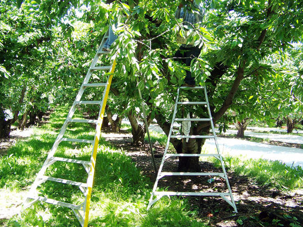 Some cherry orchards in eastern Washington are experiencing labor shortages.