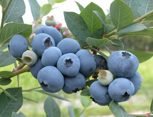 Blueberry growers in Washington and Oregon are on-track for a record harvest this year.