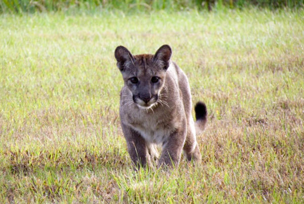 A panther is seen at Black Boar Ranch, near the town of LaBelle. The hunting preserve recently agreed to designate a portion of its land as habitat for the Florida panther.