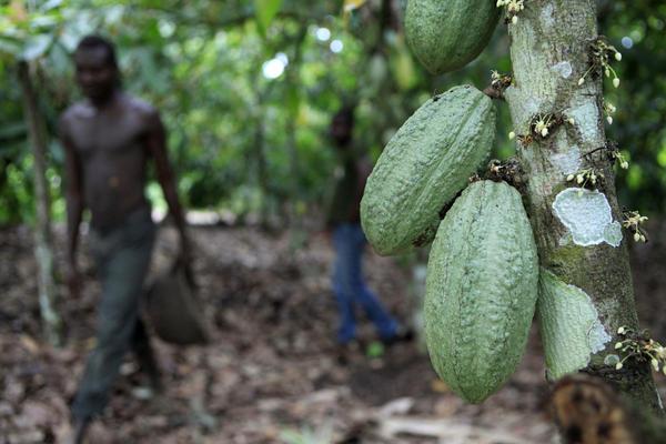 Farmer Issiaka Ouedraogo walks past cocoa pods growing on a tree, on a cocoa farm outside the village of Fangolo, near Duekoue, Ivory Coast in May 2011.