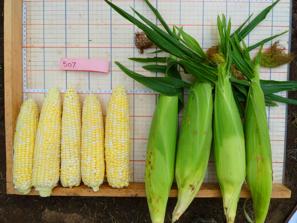 """""""Who Gets Kissed"""" corn is a variety bred in Wisconsin specifically for organic farmers. It's named for an old game. At corn husking time, a lucky person who found a rare ear of corn with red kernels had the right to kiss anyone that he or she chose."""