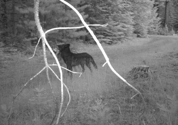 <p>U.S. Fish and Wildlife Services released video of the yearlings a part of the Rogue Pack playing.</p>