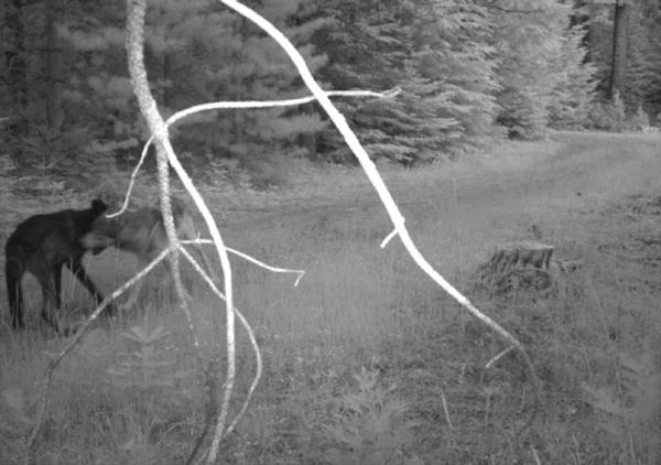<p>The video and signs of scat confirm that the Rogue Pack has new pups, but biologists aren't sure how many there are.</p>