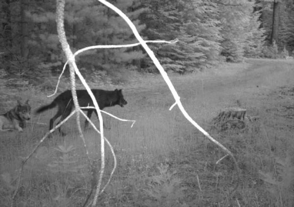 <p>The first set set of pups Wolf OR-7 fathered since settling down in the Rogue River-Siskiyou National Forest were born last summer.</p>