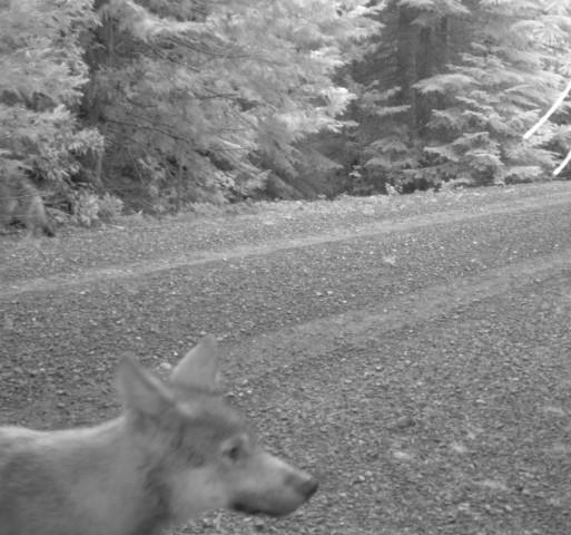 <p>One of the pups in Wolf OR-7's wolf pack.</p>
