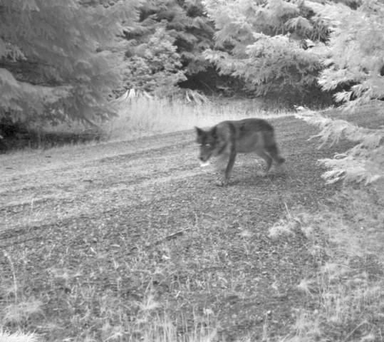 <p>Wolf OR-7's mate photographed, possibly carrying a bone.</p>