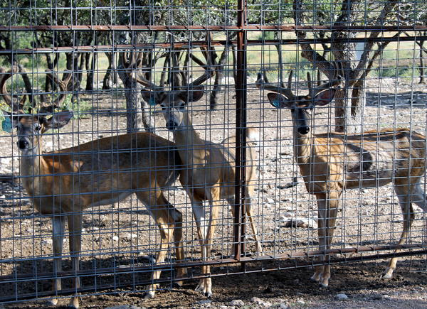 Two-Year Old Deer From The Perfect 10 Ranch Near Junction