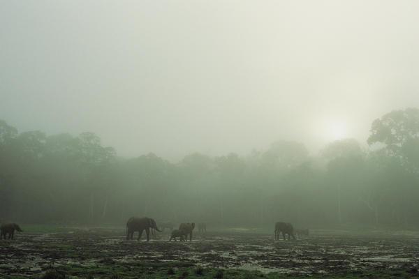 Forest elephants linger on a misty morning at the Dzanga bai.