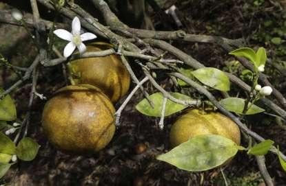 An orange blossom grows alongside some ripening fruit. There's a concern over deadly citrus greening, a condition where an insect causes bacteria to grow on the leaf.