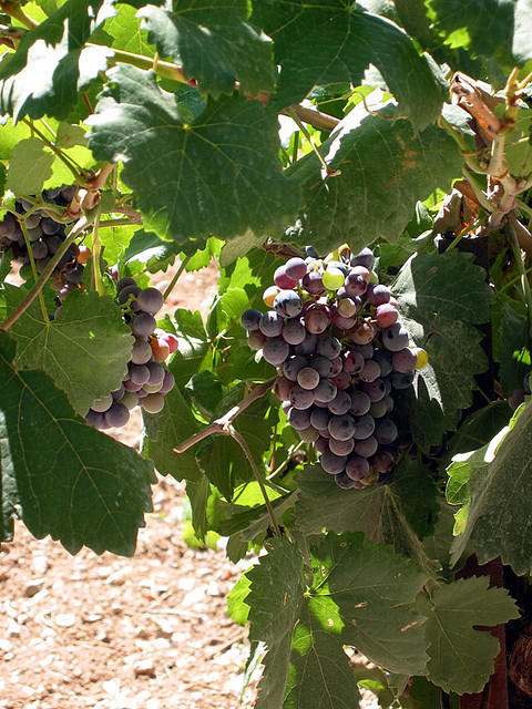 Wild yeasts can grow on the surface of grapes used to make wine.