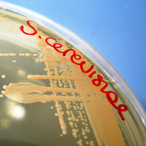 A culture of Saccharomyces cerevisiae, the yeast most often used to ferment wine.
