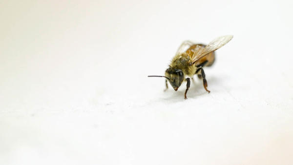 <p>Since 2006, about a third of honeybee colonies have collapsed annually in the United States, according to the U.S. Department of Agriculture. </p>