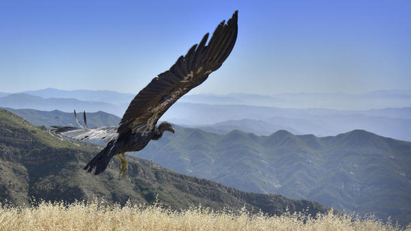 California condors have enormous wingspans. That's fine in the wilderness, but when a bird of this size encounters a power line, the results can be fatal. The San Diego Zoo Safari Park has a program to help train birds to avoid the hazard.