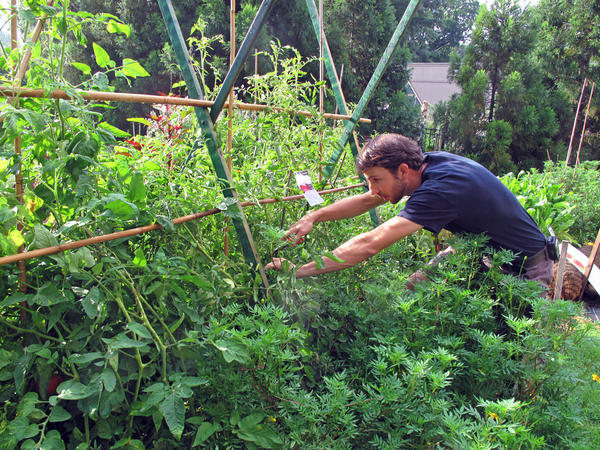 Joe Brunetti, a horticulturalist with Smithsonian Gardens, prunes Cherokee Purple tomato vines at the American Museum of Natural History Victory Garden.