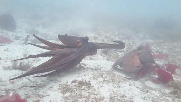 """Two octopuses going at it — or, as marine biologist Peter Godfrey-Smith might put it, engaging in a bit of """"ornery"""" behavior."""