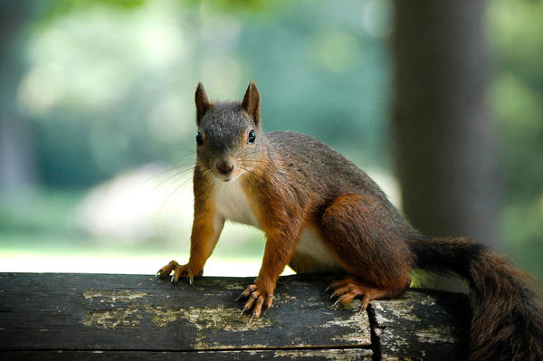 Squirrels closely mimic bird warning calls and help spread the alarm through the forest that hawks, owls or other predators are nearby.