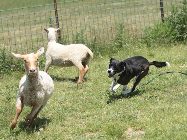 "Lily chases sheep for the first time in her shepherd-mix life, at <a href=""http://www.raspberryridgesheepfarm.com/index.aspx"">Raspberry Ridge Sheep Farm</a> in eastern Pennsylvania. Several times a year the farm invites dogs for ""herding instinct tests."""