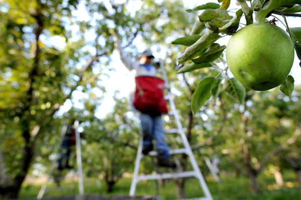 A harvester picks apples in 2010 in Milton-Freewater, Ore.