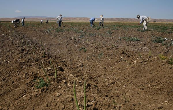 Workers harvest asparagus on April 23, 2015 in Firebaugh, Calif.