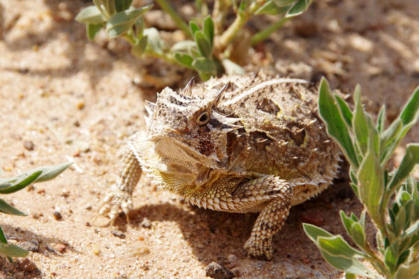German researchers found that the desert-dwelling horned toad uses its skin to channel water directly to its mouth, to stay hydrated.