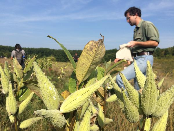Michael Piantedosi of the New England Wildflower Society goes about gathering milkweed pods in Newington