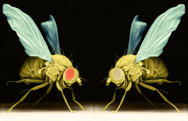 Rough night? Depending on specific tweaks to their genes, some fruit flies have trouble falling asleep, and others can't stay asleep. Getting too little shut-eye hurts their memory.
