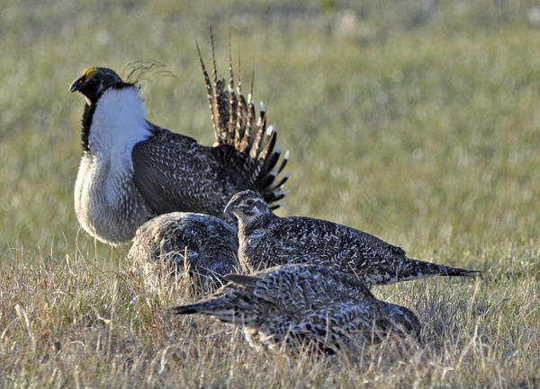 <p>The U.S. Fish and Wildlife Service shows a bistate distinct population of the greater sage grouse, rear, as he struts for a female at a lek, or mating ground, near Bridgeport, Calif. </p>