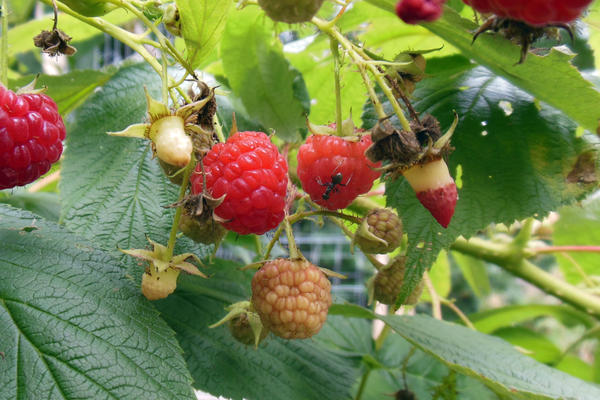 If you see red instead of white receptacles after you pick raspberries, that's another sign of SWD infestation.