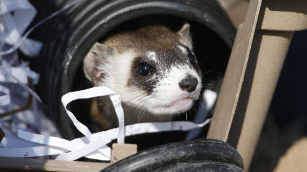 A black-footed ferret looks out of a crate during a release of 30 of the animals at a former toxic waste site, now a wildlife refuge in suburban Denver.
