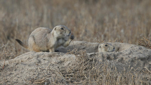 Prairie dogs look on as the ferrets are turned loose. Ferrets eat prairie dogs.