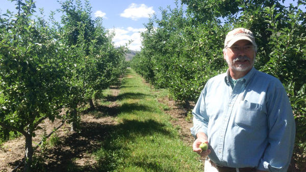 <p>Frank Peryea, Washington State University professor emeritus, shows off apples that have been infested by coddling moth caterpillars on an experimental plot at the university's Tree Fruit Research & Extension Center.</p>