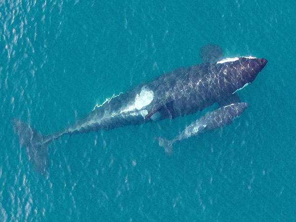 Overhead image of the newest member of the Southern Resident killer whale population, L122, just days after being born to first-time mother L91. Taken by UAV from above 90 feet under NMFS research permit and FAA flight authorization.
