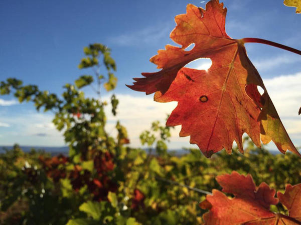 A lone caramel-colored leaf hangs on the otherwise green vines at a vineyard in southcentral Washington state.