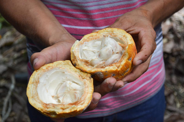 A piece of cacao cut open to reveal its fruit. The seeds, in particular, hidden at the center of the fruit, are a key ingredient in chocolate production.