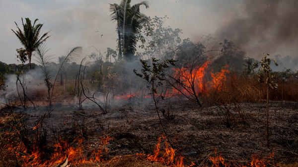 In the 1970s, the Brazilian government declared the Amazon open for settlement. Rondonia became like Oklahoma during the land rush. The poor and dispossessed of other Brazilian states were encouraged to move in. Quickly, trees gave way to farms and cattle ranches. Deforestation in this part of Brazil now happens in quick phases, where the land is cleared, burned, and readied for cattle to graze.