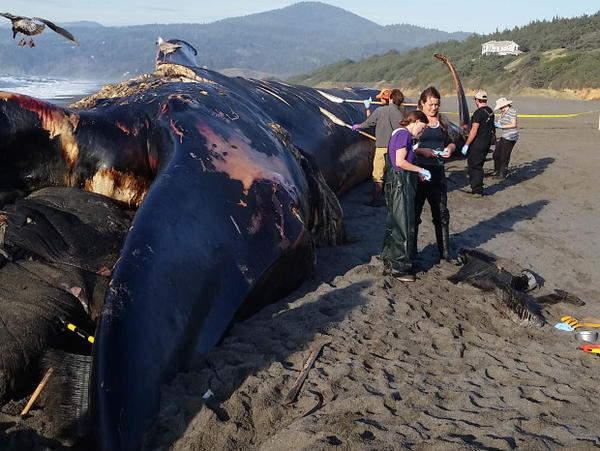 <p>A blue whale washed up on a beach in southern Oregon after it died. </p>