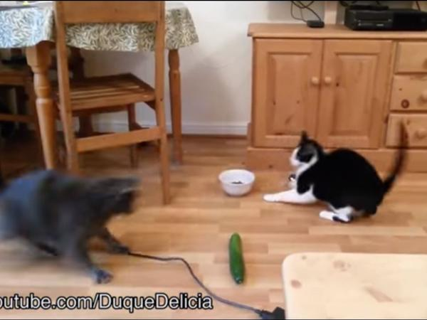 Some cats are hilariously alarmed by cucumbers. Is setting them up for surprise a mild prank, or a mean one?