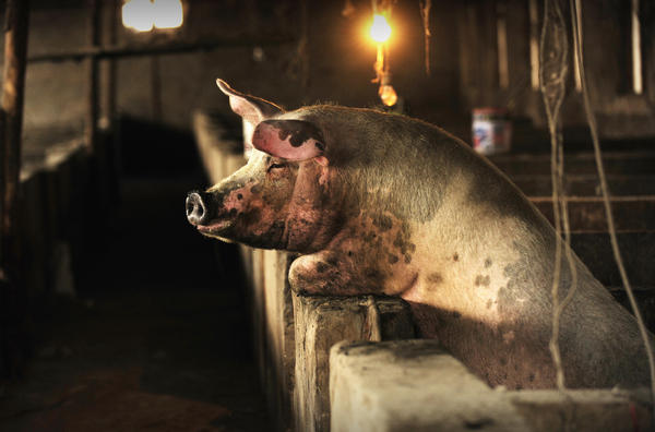 The antibiotic resistant bacteria have been found in pigs, pork and people in China. This pig is from a farm on the outskirts of Beijing.