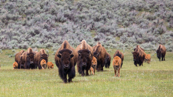 A bison herd with calves travels through Lamar Valley, Yellowstone National Park. The park has proposed a cull of 1,000 bison, primarily cows and calves, this winter.