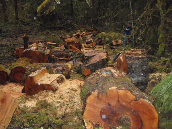 Federal prosecutors allege these bigleaf maples in the Gifford Pinchot National Forest were cut down by poachers.