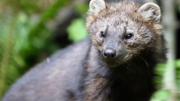<p>The fisher is a large, stocky, dark brown member of the weasel family, and is related to the mink, otter and marten, according to the Washington Department of Fish and Wildlife.</p>
