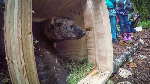 <p>The fisher, a weasel-like predator that is native to the Pacific Northwest. This fisher was brought to Washington's Gifford Pinchot National Forest from British Columbia. It was released into the wild on Dec. 3, 2015.</p>