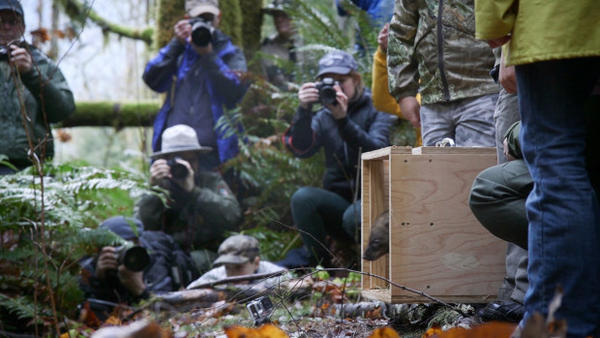<p>The Dec. 3, 2015 release of the first fisher in the south Cascades of Washington since the 1950s attracted the news media's attention.</p>