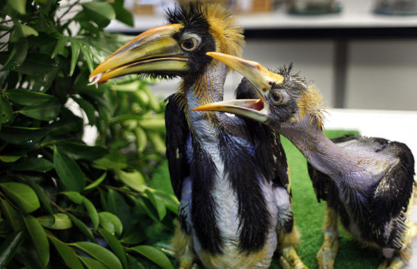 <p>Two great pied hornbill chicks. Federal agents say they bought hornbill bird skulls and parts from several other wildlife species from an online business that was illegally selling them. </p>