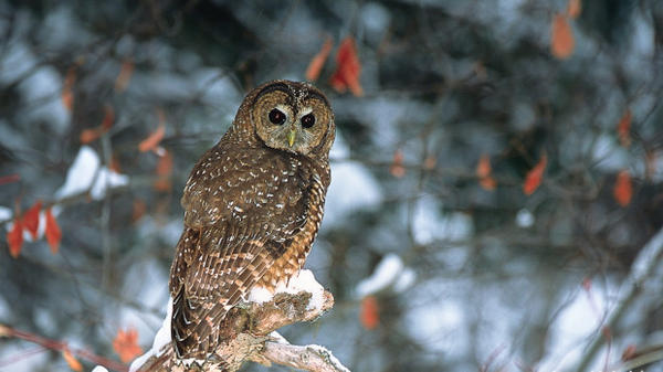 A spotted owl.