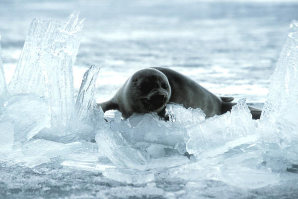 "<p>The ""nerpa"" seal, as it's called in Russian, is the world's only freshwater seal. It makes caves in the ice on Lake Baikal to provide safety for its pups.</p>"